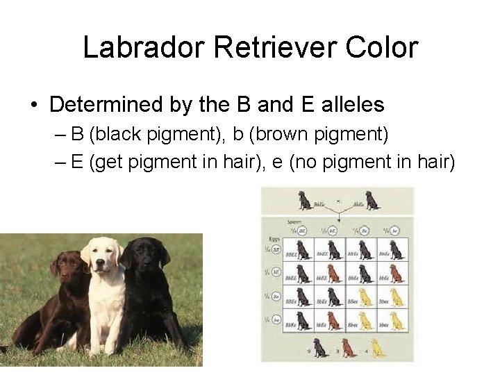Labrador Retriever Color • Determined by the B and E alleles – B (black