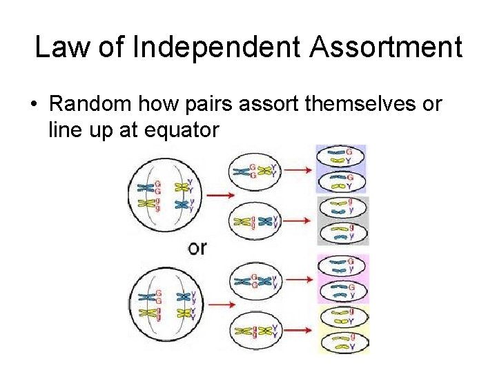 Law of Independent Assortment • Random how pairs assort themselves or line up at