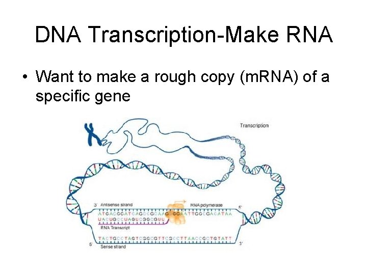 DNA Transcription-Make RNA • Want to make a rough copy (m. RNA) of a