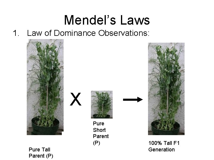 Mendel's Laws 1. Law of Dominance Observations: X Pure Short Parent (P) Pure Tall