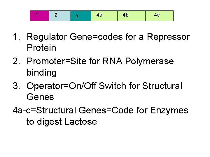 1 2 3 4 a 4 b 4 c 1. Regulator Gene=codes for a