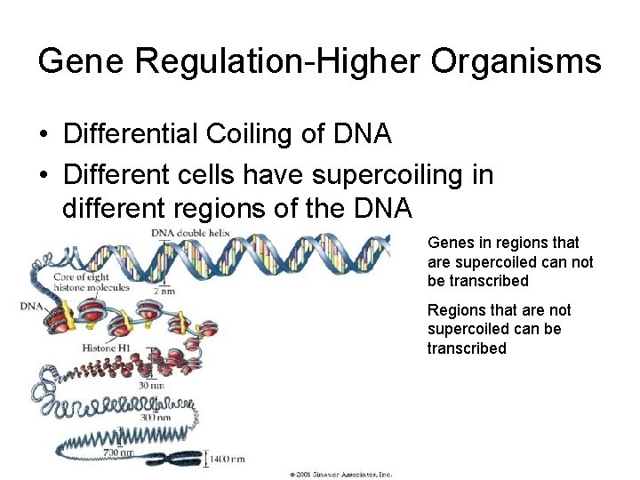 Gene Regulation-Higher Organisms • Differential Coiling of DNA • Different cells have supercoiling in
