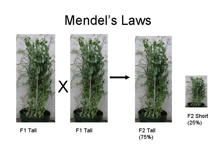 Mendel's Laws X F 2 Short (25%) F 1 Tall F 2 Tall (75%)