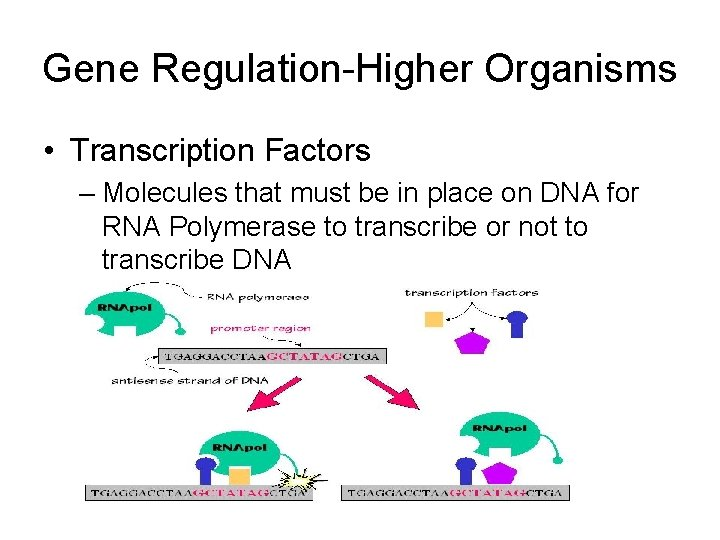 Gene Regulation-Higher Organisms • Transcription Factors – Molecules that must be in place on