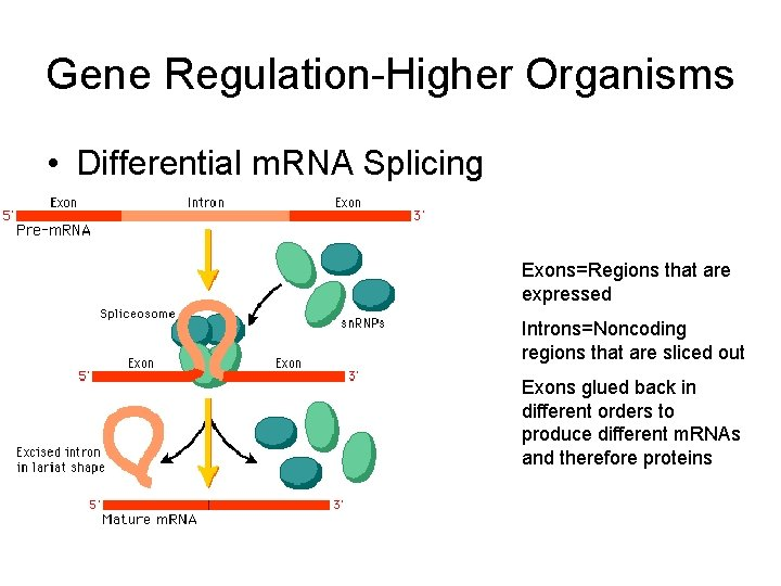 Gene Regulation-Higher Organisms • Differential m. RNA Splicing Exons=Regions that are expressed Introns=Noncoding regions