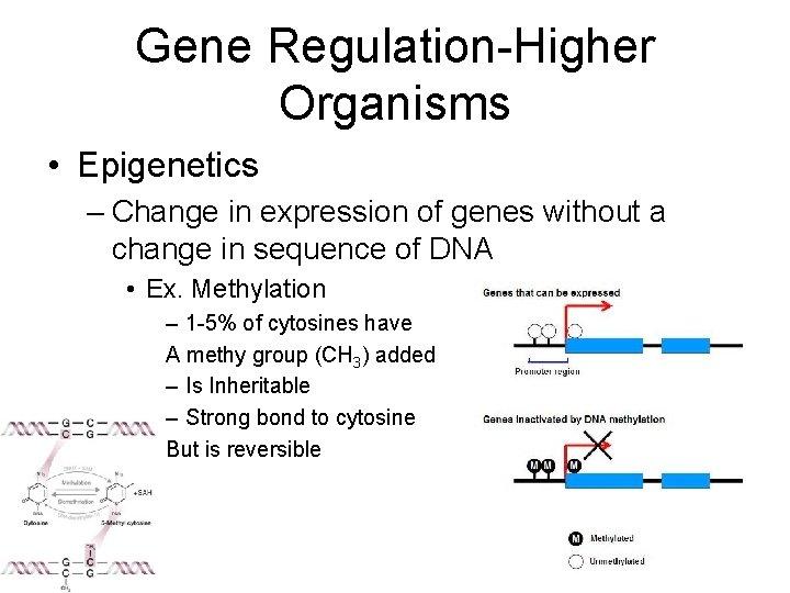 Gene Regulation-Higher Organisms • Epigenetics – Change in expression of genes without a change