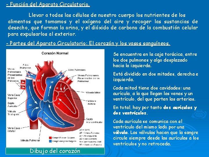 - Función del Aparato Circulatorio. Llevar a todas las células de nuestro cuerpo los