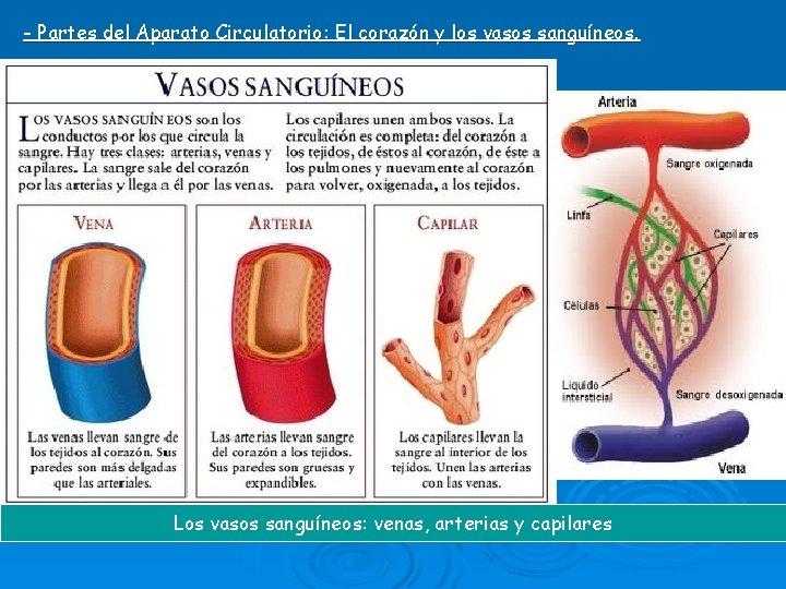 - Partes del Aparato Circulatorio: El corazón y los vasos sanguíneos. Los vasos sanguíneos: