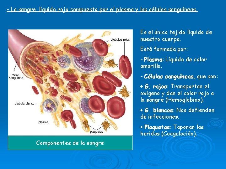 - La sangre, líquido rojo compuesto por el plasma y las células sanguíneas. Es