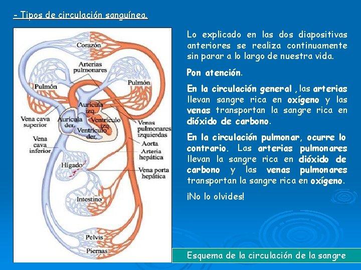 - Tipos de circulación sanguínea. Lo explicado en las dos diapositivas anteriores se realiza