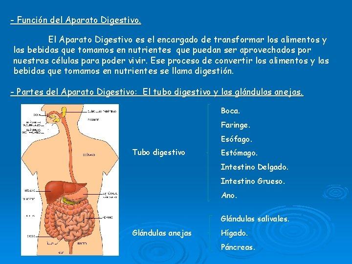 - Función del Aparato Digestivo. El Aparato Digestivo es el encargado de transformar los