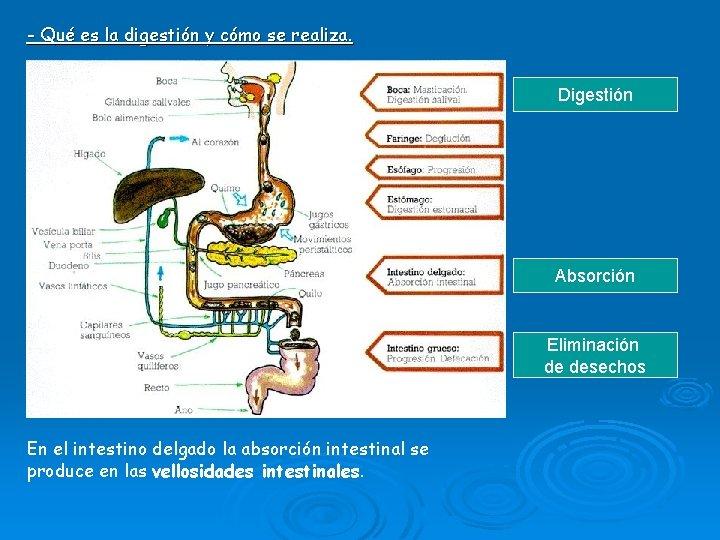 - Qué es la digestión y cómo se realiza. Digestión Absorción Eliminación de desechos