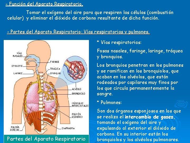 - Función del Aparato Respiratorio. Tomar el oxígeno del aire para que respiren las