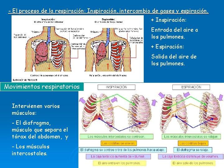 - El proceso de la respiración: Inspiración, intercambio de gases y espiración. + Inspiración: