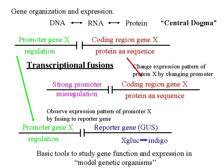 "Gene organization and expression. DNA Promoter gene X regulation RNA ""Central Dogma"" Protein Coding"