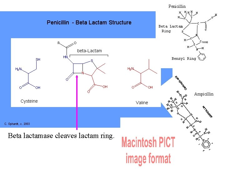 Penicillin Ampicillin Beta lactamase cleaves lactam ring.