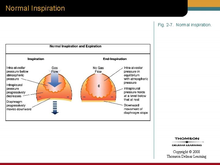 Normal Inspiration Fig. 2 -7. Normal inspiration. Copyright © 2008 Thomson Delmar Learning