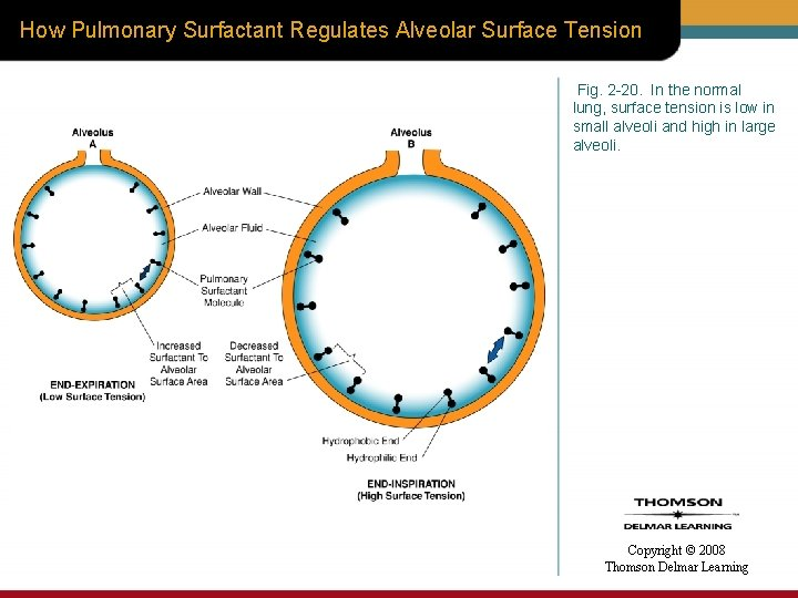 How Pulmonary Surfactant Regulates Alveolar Surface Tension Fig. 2 -20. In the normal lung,