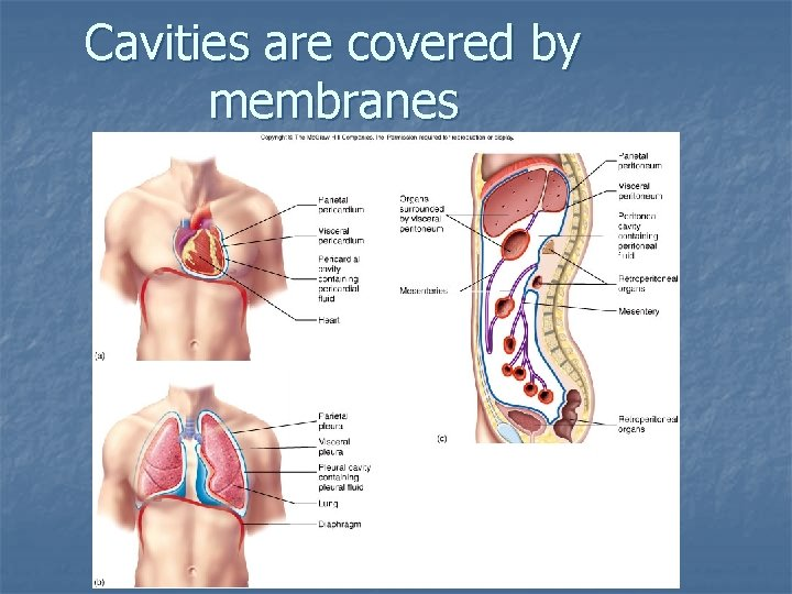 Cavities are covered by membranes