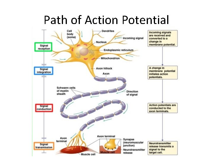 Path of Action Potential