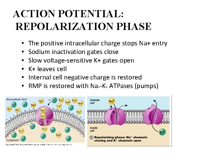 ACTION POTENTIAL: REPOLARIZATION PHASE • • • The positive intracellular charge stops Na+ entry