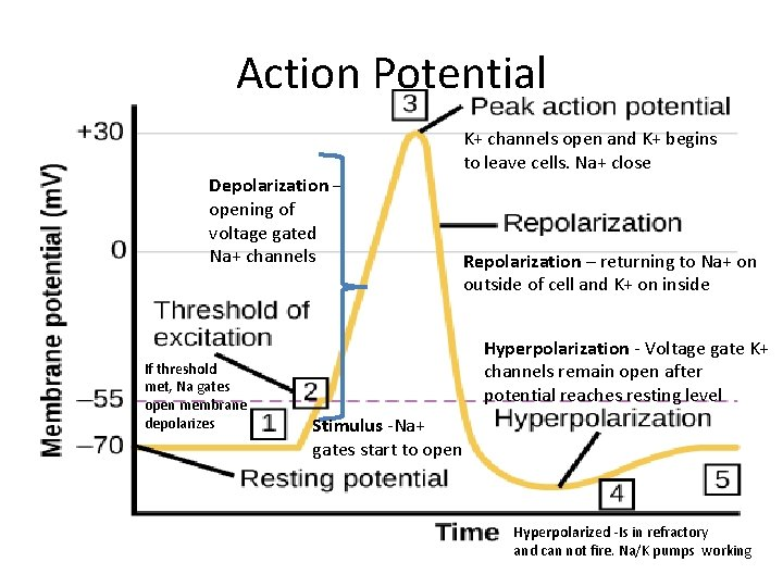 Action Potential Depolarization – opening of voltage gated Na+ channels If threshold met, Na
