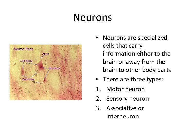 Neurons • Neurons are specialized cells that carry information either to the brain or