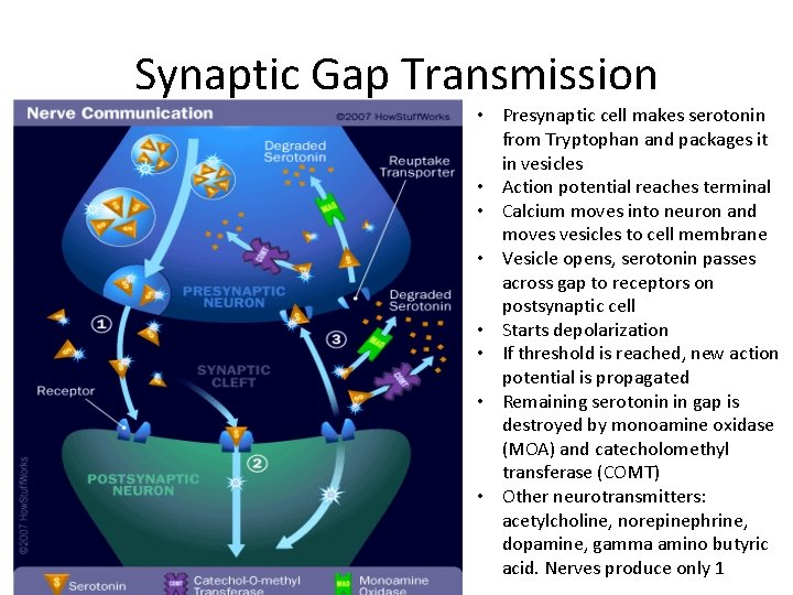 Synaptic Gap Transmission • Presynaptic cell makes serotonin from Tryptophan and packages it in