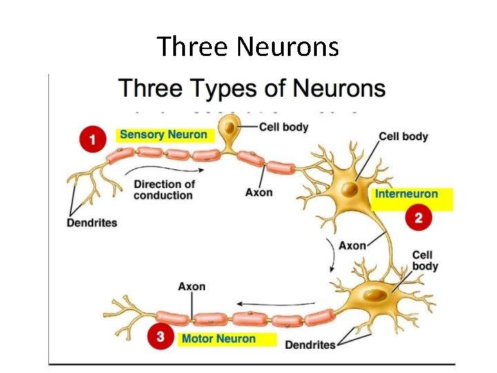Three Neurons