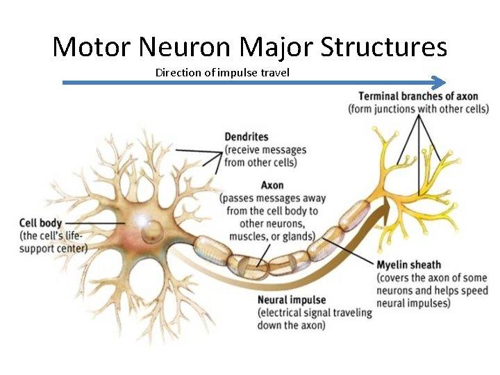 Motor Neuron Major Structures Direction of impulse travel