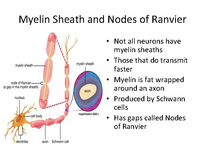 Myelin Sheath and Nodes of Ranvier • Not all neurons have myelin sheaths •
