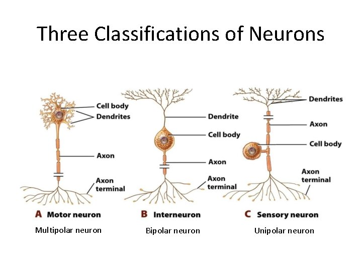 Three Classifications of Neurons Multipolar neuron Bipolar neuron Unipolar neuron