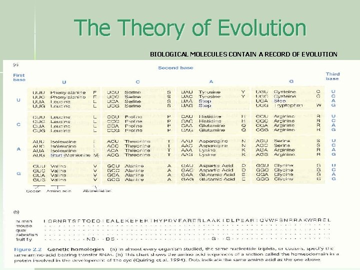 The Theory of Evolution BIOLOGICAL MOLECULES CONTAIN A RECORD OF EVOLUTION