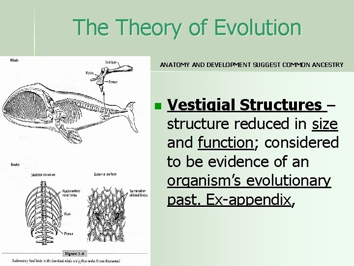 The Theory of Evolution ANATOMY AND DEVELOPMENT SUGGEST COMMON ANCESTRY n Vestigial Structures –