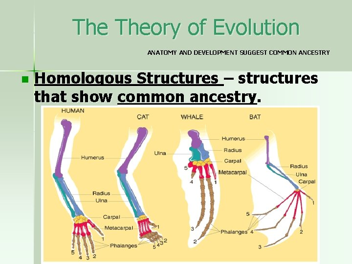 The Theory of Evolution ANATOMY AND DEVELOPMENT SUGGEST COMMON ANCESTRY n Homologous Structures –