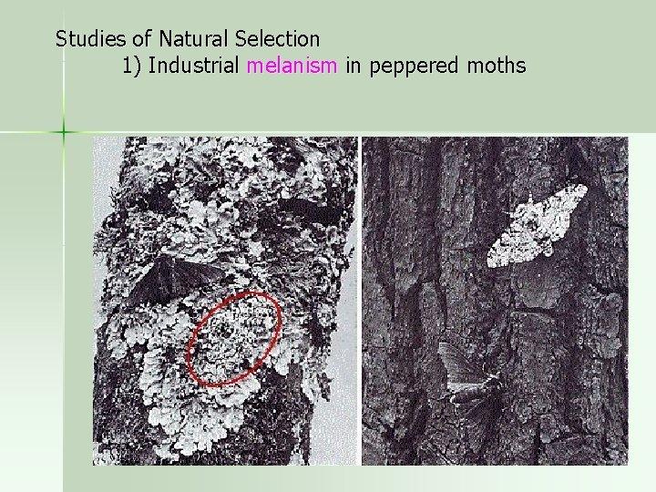 Studies of Natural Selection 1) Industrial melanism in peppered moths