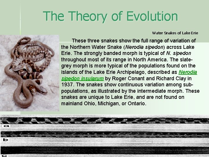 The Theory of Evolution Water Snakes of Lake Erie These three snakes show the
