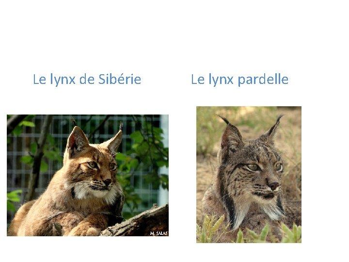 Le lynx de Sibérie Le lynx pardelle