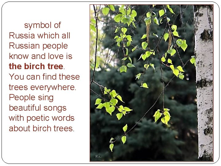 symbol of Russia which all Russian people know and love is the birch tree.