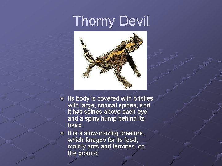 Thorny Devil Its body is covered with bristles with large, conical spines, and it