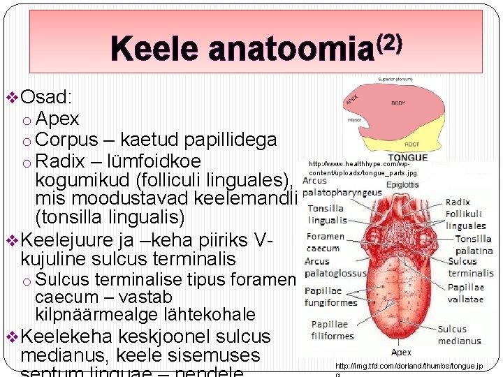 Keele (2) anatoomia v. Osad: o Apex o Corpus – kaetud papillidega o Radix