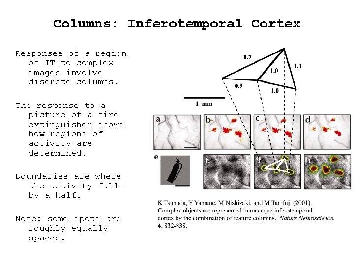 Columns: Inferotemporal Cortex Responses of a region of IT to complex images involve discrete