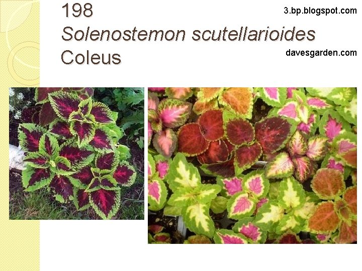 3. bp. blogspot. com 198 Solenostemon scutellarioides davesgarden. com Coleus