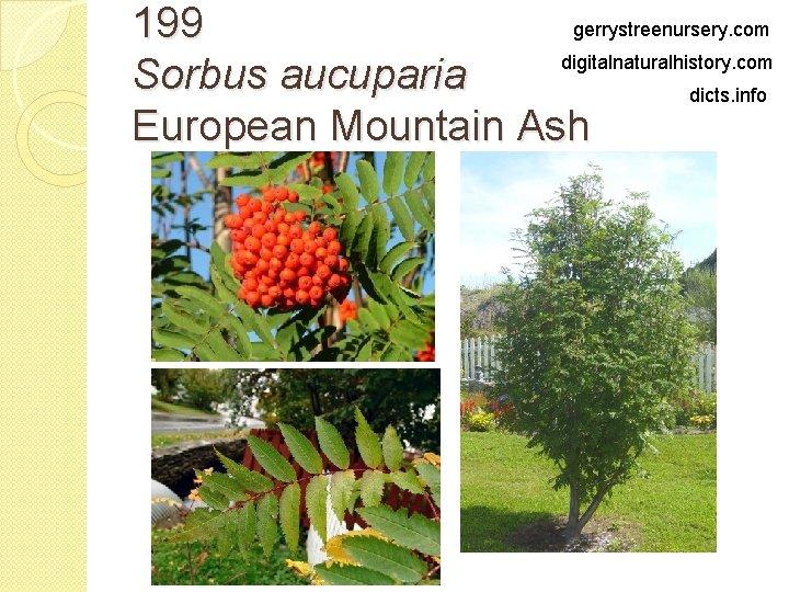 gerrystreenursery. com 199 digitalnaturalhistory. com Sorbus aucuparia dicts. info European Mountain Ash