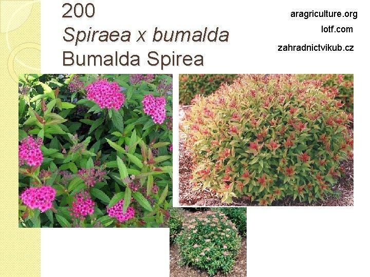 200 Spiraea x bumalda Bumalda Spirea aragriculture. org lotf. com zahradnictvikub. cz