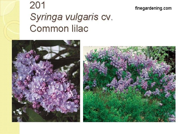 201 Syringa vulgaris cv. Common lilac finegardening. com
