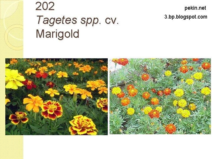 202 Tagetes spp. cv. Marigold pekin. net 3. bp. blogspot. com