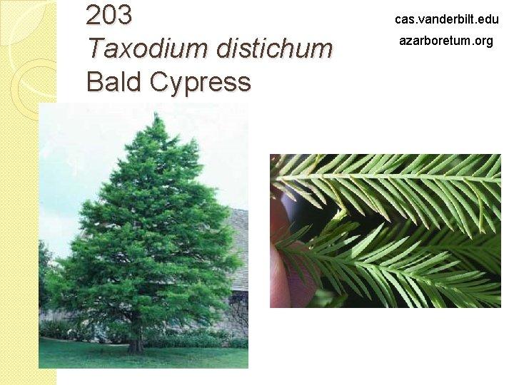 203 Taxodium distichum Bald Cypress cas. vanderbilt. edu azarboretum. org
