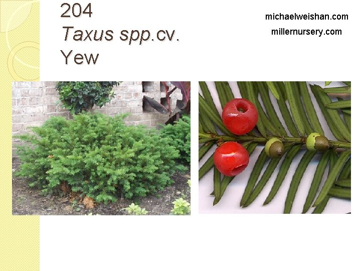 204 Taxus spp. cv. Yew michaelweishan. com millernursery. com