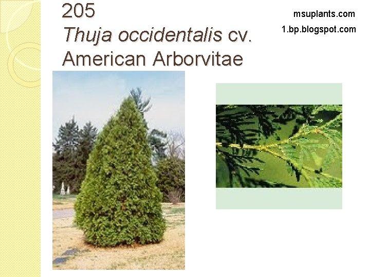 205 Thuja occidentalis cv. American Arborvitae msuplants. com 1. bp. blogspot. com